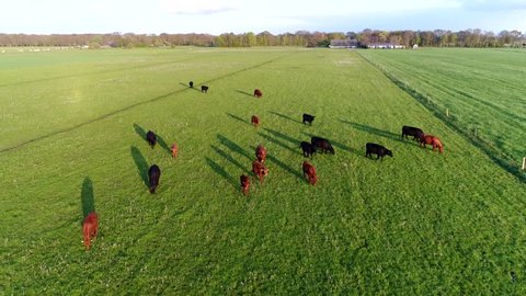 Aerial bird eye footage of Aberdeen Angus Cattle group of livestock meat cows commonly used in beef production camera moving slowly moving down over meadow friendly cows not minding camera much 4k