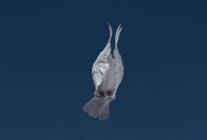 White dove flying directly over camera into blue sky, slow motion