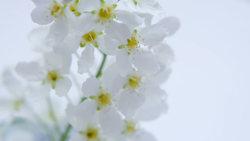 A branch of white flowers of plum or apricot close-up. rotation | Shutterstock HD Video #26677717