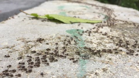 Group of black ants walking on the concrete surface.