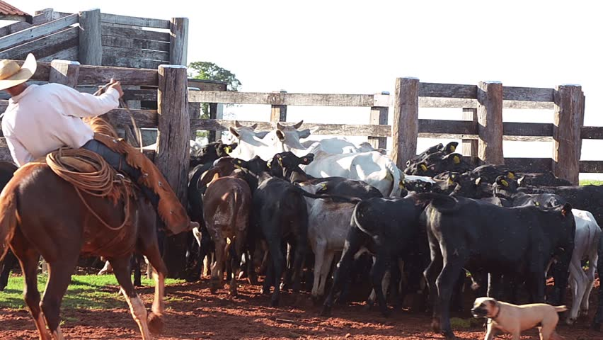 Cattle running to the corral for weaning. Mixed cattle with some black, brown and white calves passing through the gate of the farm's corral. Some cowboys leading the cattle.