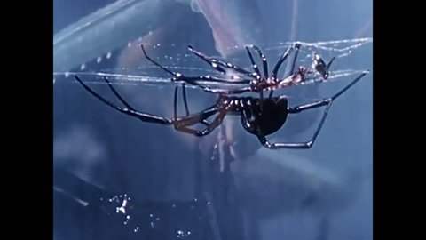 1940s: The life cycle of the black widow spider is discussed in detail.