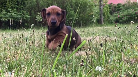 Cute Dachshund puppy Sausage dog running toward camera slow motion