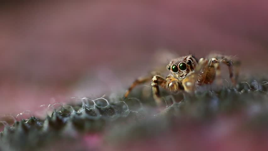 Extreme macro shot of jumping spider in wild on pink leave. Selective focus. #26883700