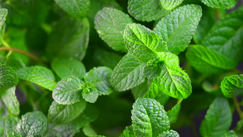 Mint. Fresh mint leaf background closeup. Growing organic mint close up. Rotation 360. 4K UHD video footage 3840X2160
