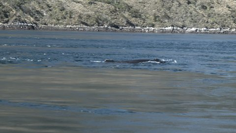 HUMPBACK WHALE IN STRAIT OF MAGELLAN
