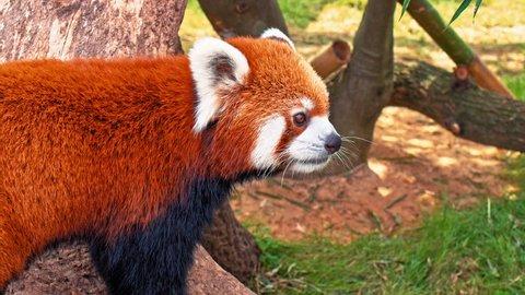"red panda, firefox or lesser panda (taxonomic name: ailurus fulgens, ""shining cat"") macro portrait"