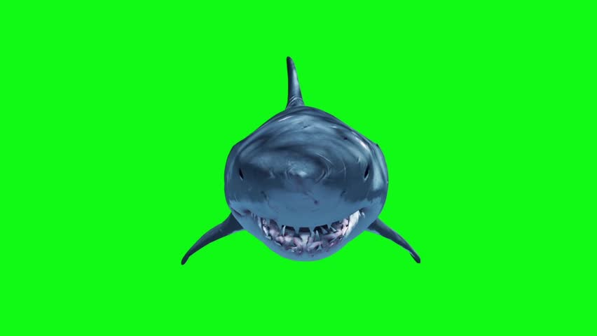 White Shark Swim Fast Loop Front Green Screen 3D Rendering Animation