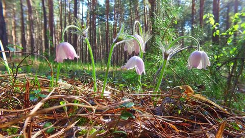 Motion video of spring-flowering pasque Pulsatilla flowers in the pine forest at Spring time