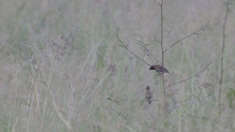 a Scaly-breasted munia parent is trying to feed the offspring in the grassland