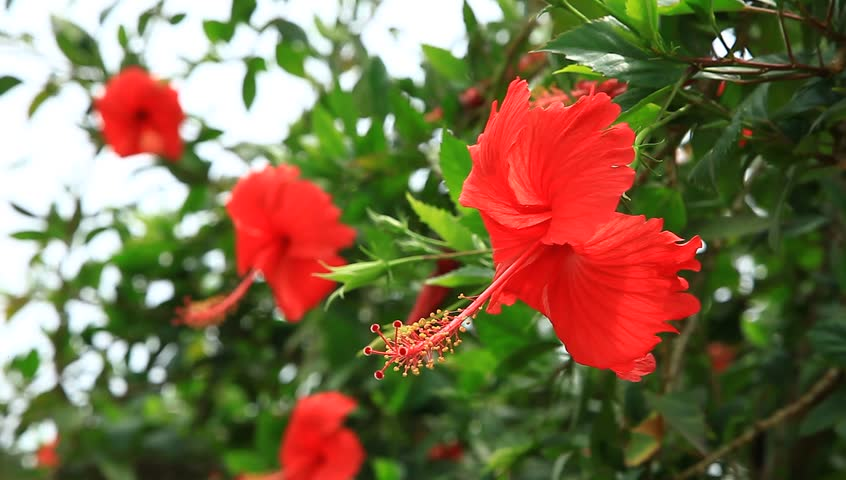 Tropical Red Hibiscus Flowers In Stock Footage Video 100 Royalty