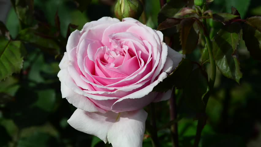 A rose is a woody perennial flowering plant of the genus Rosa, in the family Rosaceae | Shutterstock HD Video #27152914