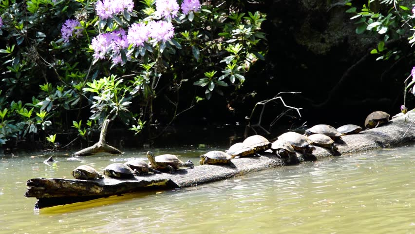 Group of red eared turtles trachemys scripta elegans gathered in the sun and relaxing on a dead tree log in the water medium view