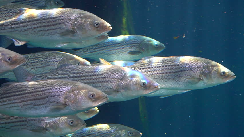 Image result for striped bass underwater