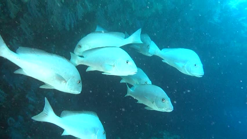 Family silver fish in search of food on background of seabed underwater. Swimming in world of colorful beautiful seascape. Aquarium of wild nature. Abyssal relax diving.   Shutterstock HD Video #27201217