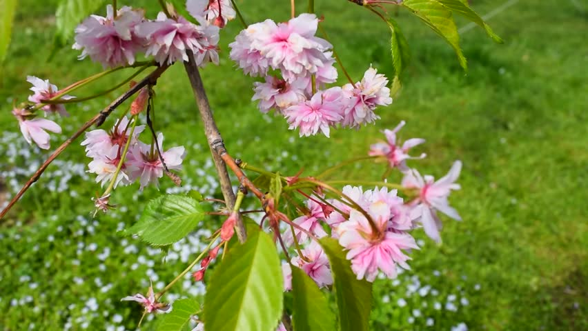 Pink cherry blooms and green meadow. Beautiful springtime footage. | Shutterstock HD Video #27219727
