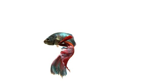 Half-Moon fighting fish in red blue. Income will be contributed to fund the Siamese Fighting Fish Gallery for continuous conservation of the fighting fish species.