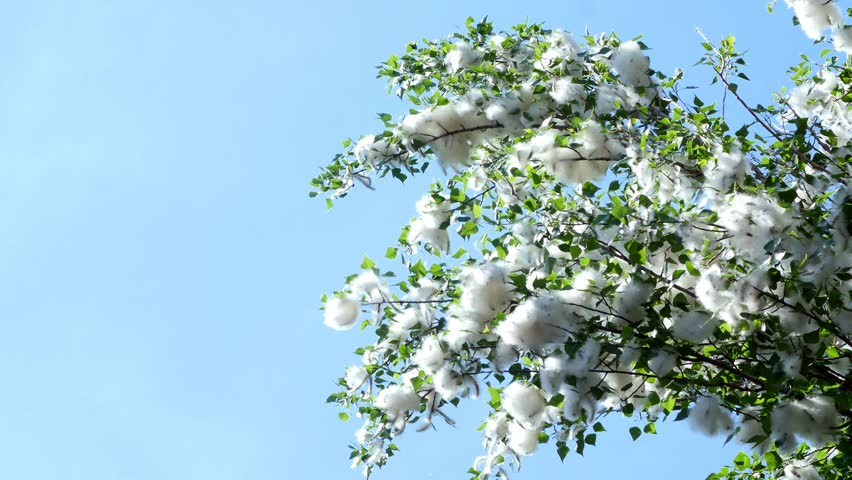 Against the blue sky, large, green poplar branches, all densely covered with bundles of fluff, like cotton tubers.