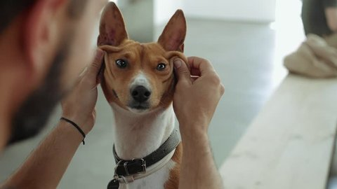 Owner plays with his pet, cute and intelligent purebred basenji dog, making him funny smiling fase with skin wrinkles. Dog moves his ears and looking at camera curiously