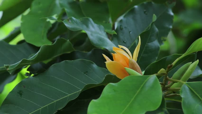 Magnolia Champaca Orange Champak Michelia Champaca Flower