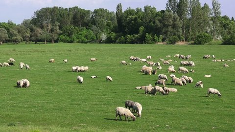 Herd of sheep on pasture in plain countryside landscape, livestock animals feeding with grass
