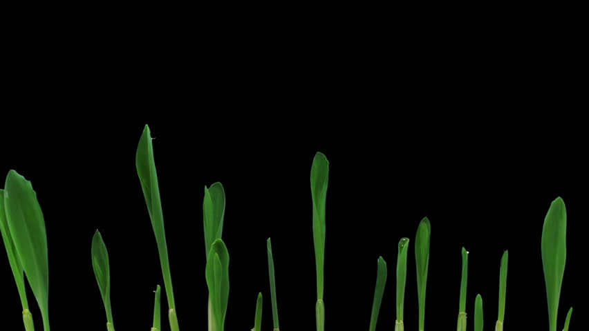 Time-lapse of growing maize vegetables 5d2  | Shutterstock HD Video #2724407