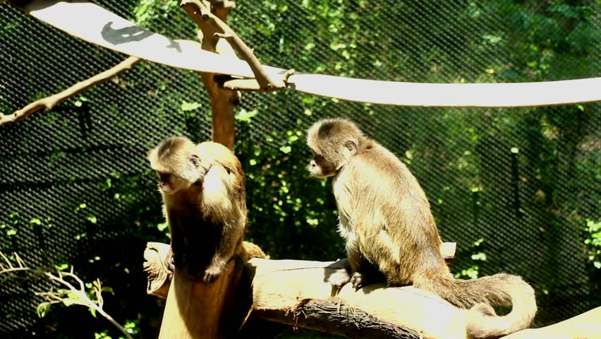 Brown Capuchin Monkeys Stock Footage Video (100