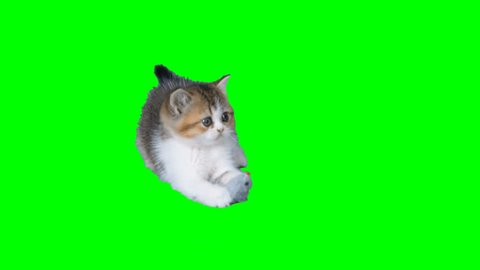 4K Cat Kitten Playing with Rat Toy at Green Screen Chroma Key Background Small Cutie One high Resolution Scottish Straight Kitten White and Brown Colors