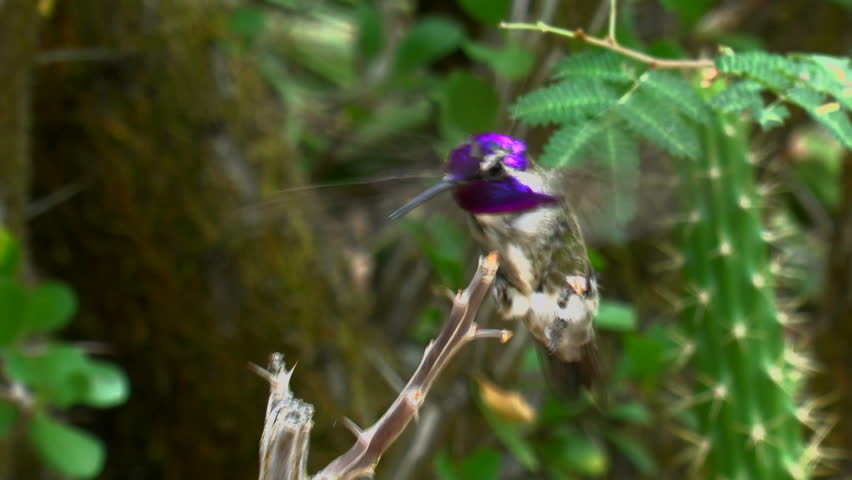 Costa's hummingbird flies to tree branch, wings flapping, lands, displays vibrant, purple head, gorget, iridescent feathers. 1080p