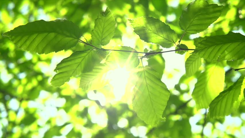 Nature background. Beautiful Sun shine through the blowing on wind tree green leaves. Blurred abstract bokeh with sun flare. Sunlight. Sunflare. Slow motion 4K UHD video 3840X2160
