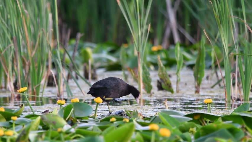 Bald-coot (lat. Fulica atra) in native habitat | Shutterstock HD Video #27476248