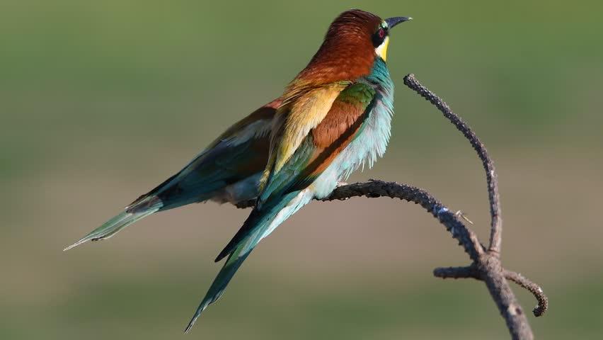 European bee-eater (Merops apiaster)   Shutterstock HD Video #27502147