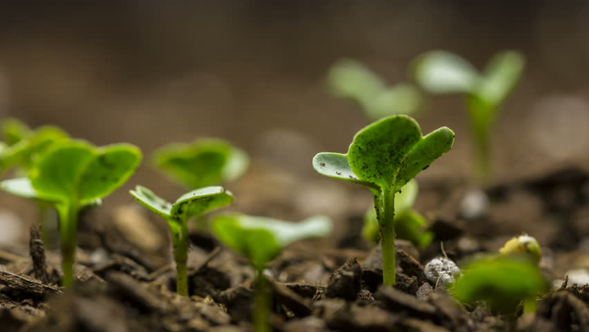 Time lapse of vegetable seeds growing or sprouting from the ground.