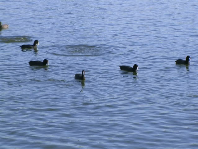 Header of American coot