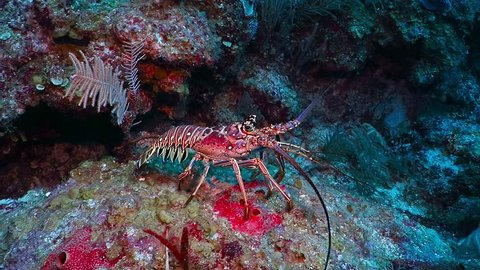 Big red spiny lobster walking on the coral reef. Deep caribbean sea, red, purple and yellow coral background. Langouste or rock lobster in sea bottom. Deep sea scuba diving vacation.