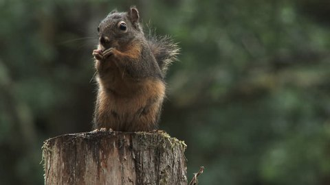 Close up on small Douglas squirrel framed left eating sunflower seeds in rainy Washington forest.