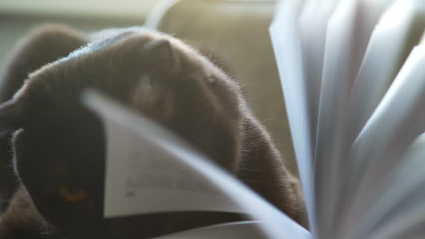 Playful cat and book. Scottish lop-eared cat with collar plays with book pages. Thick brown cat on couch with book. Cat with large round yellow eyes looks through the pages of book. | Shutterstock HD Video #27825457