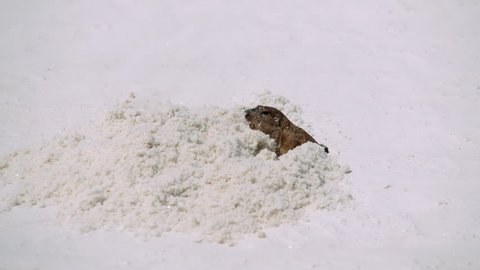 Pocket Gopher furiously digging hole in the sand in the New Mexico desert - White Sands National Monument