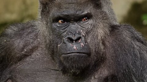 Closeup portrait of a gorilla male, severe silverback, Close up, slow motion