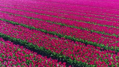 Aerial drone flying and turning slowly left over beautiful bright pink tulip field located in Lisse Holland The Netherlands showing row of tulips pink flowers slowly moving by wind amazing contrast 4k