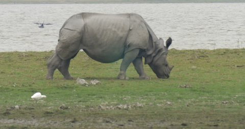 Asian Rhino Grazing in grass at ranthambore national park India