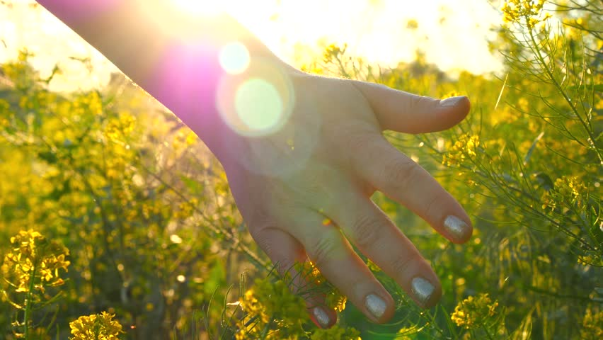 Young woman hand passing through a wild meadow field. Female hand touching wild flowers close-up | Shutterstock HD Video #27915457