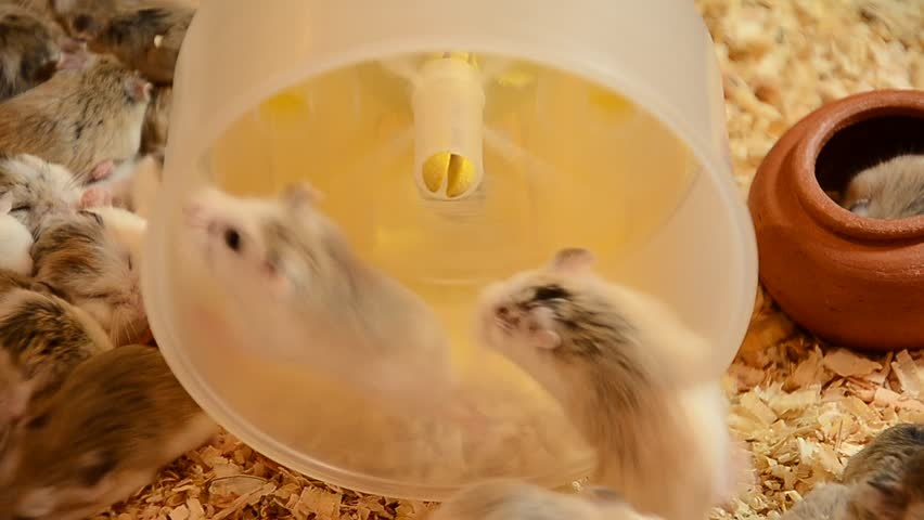 petsmart hamsters video