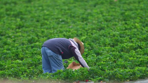 SALINAS VALLEY CALIFORNIA - APRIL 2017: Migrant farm workers picking strawberries by hand and boxing them in a beautiful green field