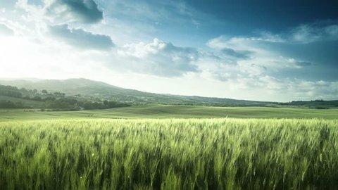 wheat field in Tuscany, Italy