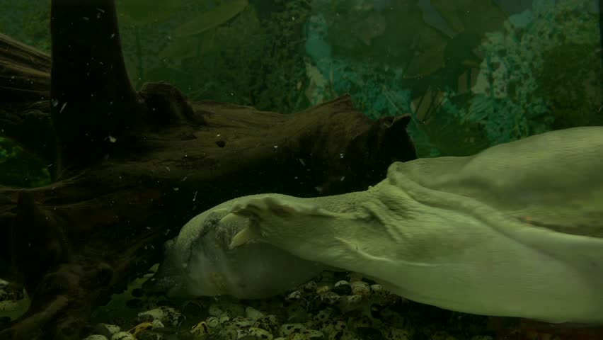 Ungraded: Chinese softshell turtle swims and croaks behind the scratched glass of the aquarium in the zoo. Source: Lumix DMC, ungraded H.264 from camera without re-encoding. (av38743u)