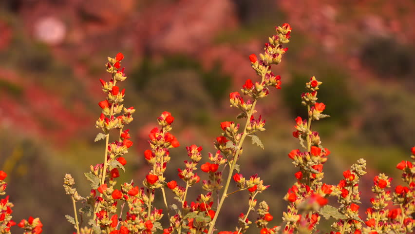 Desert flowers at Zion National Park, Utah in 4K
