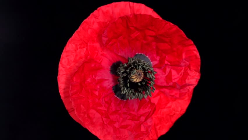 Poppy flower free video clips 174 free downloads red poppy flower blooming in time lapse on a black background time lapse mightylinksfo Images