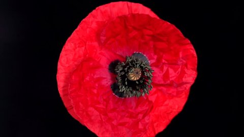 Red poppy flower blooming in time-lapse  on a black background.  Time lapse. High speed camera shot. Full HD 1080p. Timelapse