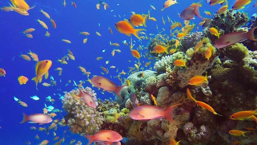 Underwater Colorful Tropical Fish. Picture of a wonderful and beautiful underwater colorful fishes blue-green chromis, scalefin anthias and corals in the tropical reef of the Red Sea, Dahab, Egypt.